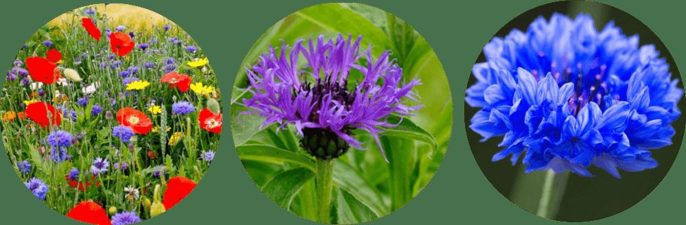 peygamber çiçeği bakımı nasıl yapılır, peygamber çiçeği çayı