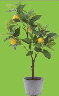 saksıda limon fidanı budama