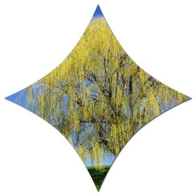 salkım söğüt ağacı
