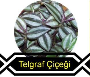 telgraf çiçeği bakımı
