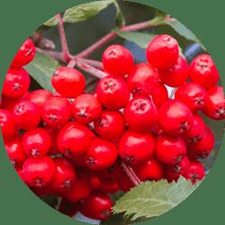 üvez ağacı meyvesi