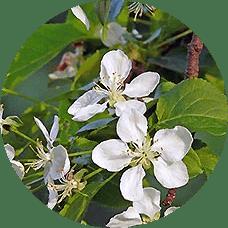 yabani elma ağacı