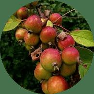 yabani elma