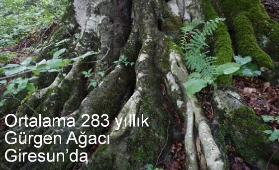 gürgen ağaçları