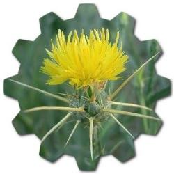 zerdali dikeni çiçeği