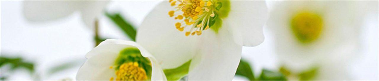 Hangi çiçekler soğuğa dayanıklıdır?