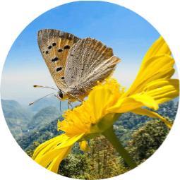 adan zye kelebek isimleri, sıralı kelebek çeşitleri