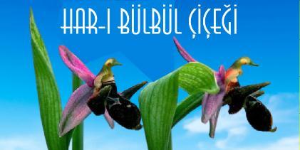 azerbaycan çiçeği har-ı bülbül çiçeği