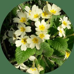 papatya çiçeği ne zaman açar