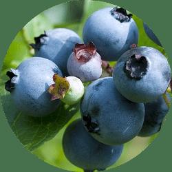 kanada da yetişen meyveler