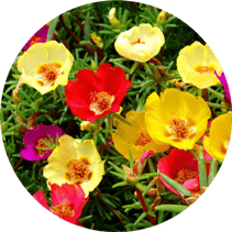 Bir yıllık çiçek açan bitki çeşitleri