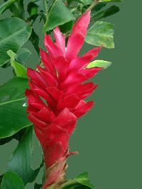 Zencefil bitkisinin faydaları nelerdir