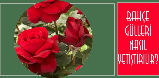 bahçede güller nasıl yetiştirilir