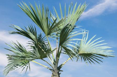 adan zye palmiye isimleri, palmiye ağacı kaç tane