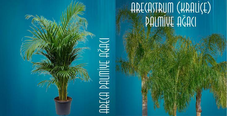 palmiye ağacı çeşitleri nelerdir