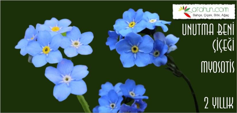 unutma beni çiçeği evde yetişir mi, unutma beni çiçeği hakkında bilgiler