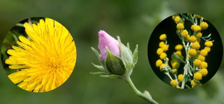 Şifalı bitkiler hangi hastalıklara iyi gelir?