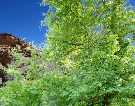 sığla ağacı nerede yetişir, sığla ağacı resmi